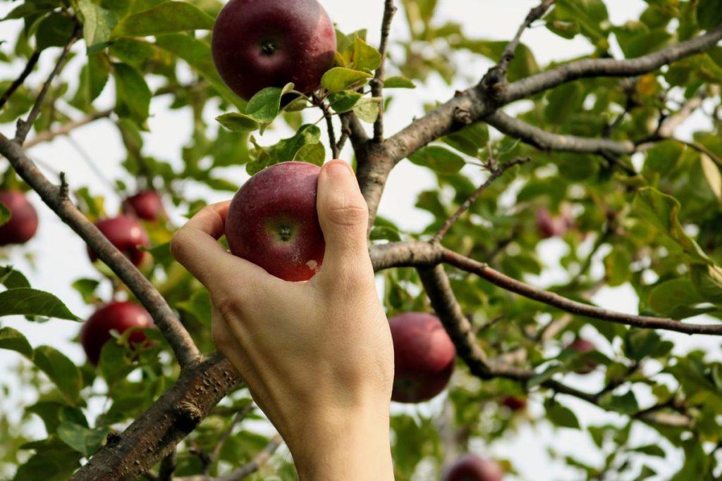 Wer keinen Apfelbaum hat kann auf einer Streuobstwiese Äpfel oder auch anderes Obst sammeln