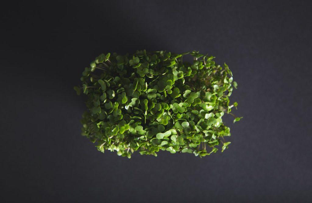 Grünkräuter/Microgreens keimen lassen
