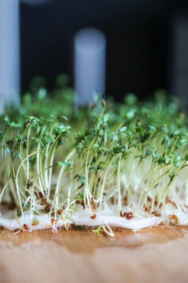 Sprossen und Microgreens ziehen